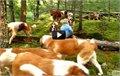 כלבים מסוג סן ברנרד חופשיים בטבע