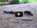 חתול נגד תנין בחצר האחורית שלי
