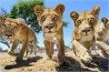 קלוז אפ של להקת אריות