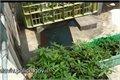 שאפו למשטרת תל אביב - חשיפת משתלת מריחואנה בפלורנטין