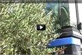 תהליך ייצור שמן הזית הישראלי
